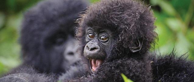 uganda gorilla in bwindi