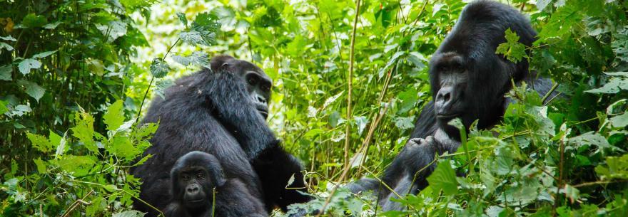 3 Days Gorilla Trekking Uganda From Kigali