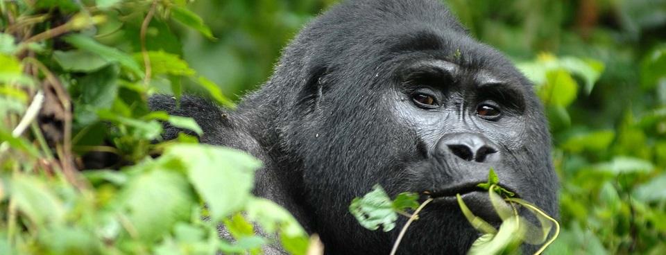 4 Day Gorilla Trekking & Dian Fossey Hike