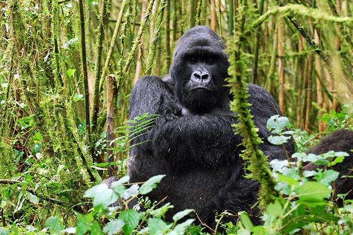 5 Day Gorilla Trekking in Rwanda