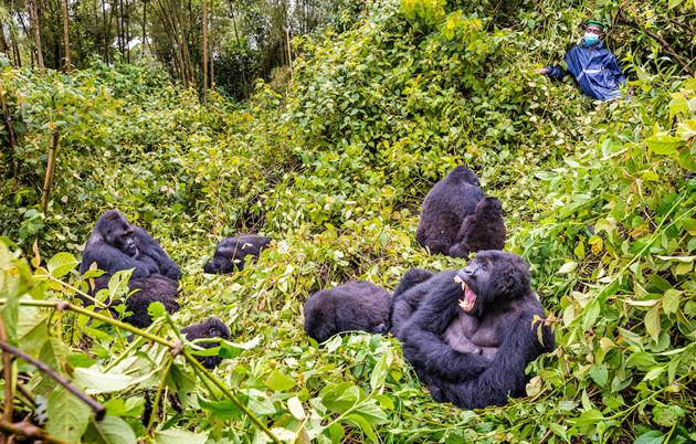 Gorilla Family in Virunga