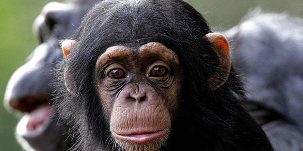 Chimpanzees in Nyungwe National Park