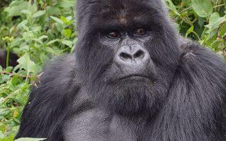 Gorillas Trekking in Congo