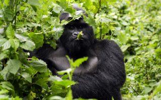 5 Days Rwanda & Congo Gorilla Trekking