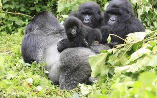 Mountain Gorilla Trekking in Uganda from Rwanda