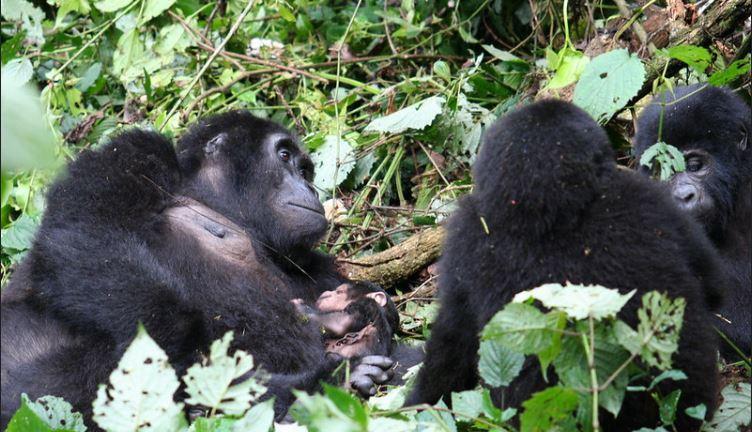 3 Day Gorilla Trekking Safari - Bwindi
