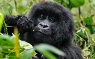 11 Days Best Of Congo Safari (The Virunga Expedition)