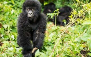 2 Days Congo Gorilla Trekking - Jomba Community Camp