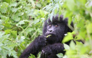 5 Days Congo Primates Safari