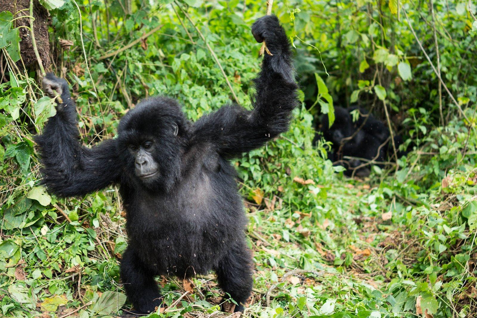 6 Days Congo Double Gorilla trekking & Nyiragongo hike safari