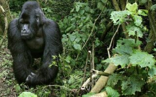 6 Days Congo Gorilla Trekking & Mount Nyiragongo Safari
