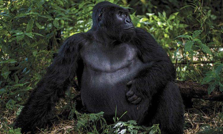 6 Days Congo Primates Safari & Nyiragongo Hike