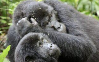 5 Days Virunga Gorilla Trekking & Nyiragongo Hike (Mikeno Mist)