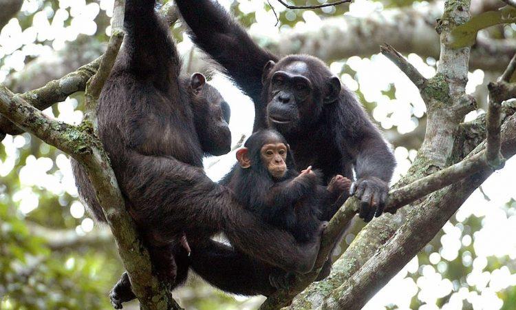 chimpanzee trekking in Nyungwe forest.