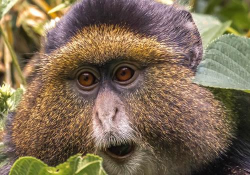 6 Days Primates & Culture Tour-Rwanda